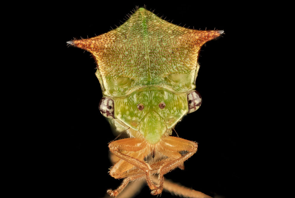 Buffalo Treehopper,